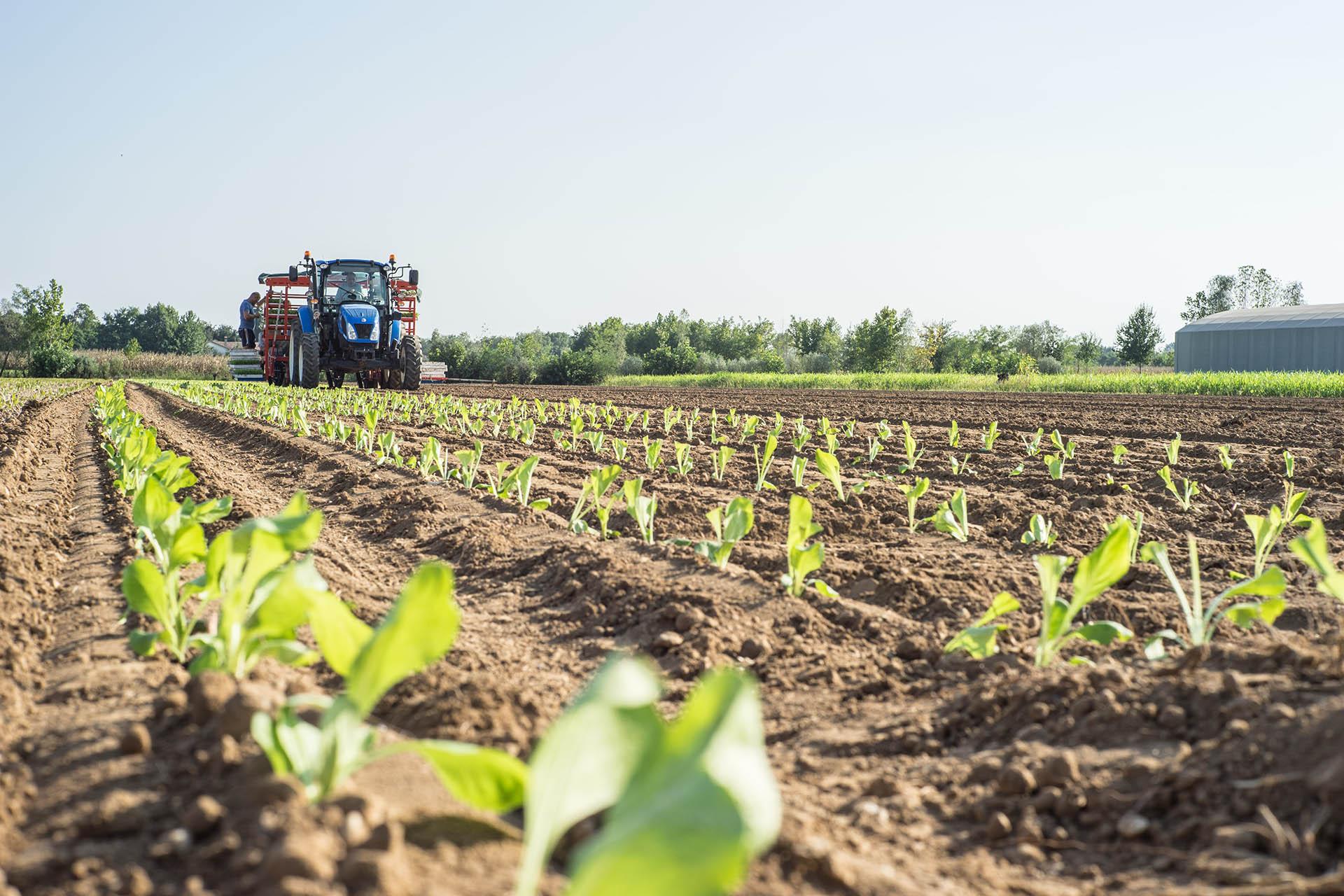 La coltivazione del radicchio rosso di treviso igp for Produzione mobilifici treviso